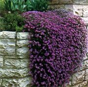 Cascading Plants For Containers Aubretia Purple Cascade