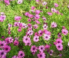 Margarita del Cabo, Dimorfoteca Osteospermum fruticosum = Dimorphoteca fruticosa