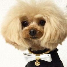 #dog #dogstagram #poodle #ティーカッププードル #teacuppoodle #dogs #dogstagram #doggies #ふわもこ部 #ilovedogs #doggie #doggy #トイプードル #プードル #instadog #dog #dogoftheday #cutedog