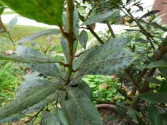 Growing bay leaf trees have been cultivated for centuries for their subtle flavor, aroma and medicinal uses. That& why leaf spots may make one cringe. Find the causes and care of bay leaf tree problems here. Bay Leaf Plant, Bay Leaf Tree, Bay Leaves, Tree Leaves, Plant Leaves, Bay Trees, Bay Laurel Tree, Laurel Plant, Laurus Nobilis