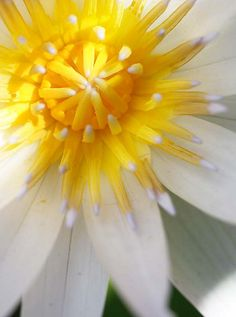 Color Theory Therapy| Serafini Amelia| Water lily-Yellow White Flower