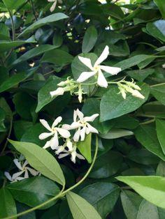 Creeping jasmine - a lovely way to perfume the courtyard and balcony