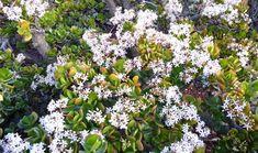 Kvitnutie tučnolistu v záhrade