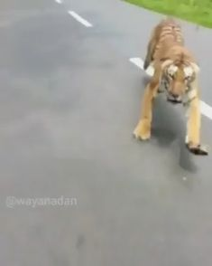 Being chased by a tiger on a motorcycle - Freaking Awesome - Nice cat Funny Animal Memes, Cute Funny Animals, Cute Baby Animals, Cute Cats, Funny Cats, Rare Animals, Animals And Pets, Tiger Video, Cute Animal Videos