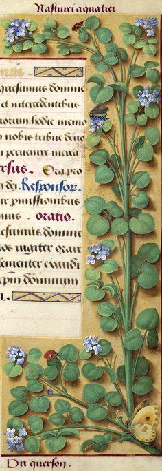 Du querson - Nasturci aquatici (Très probablement le cresson de fontaine (Nasturtium officinale R. Br.), d'après le dessin ; mais les fleurs ont été peintes en bleu pâle.) -- Grandes Heures d'Anne de Bretagne, BNF, Ms Latin 9474, 1503-1508, f°210r