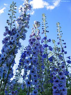 Delphiniums are the most beautiful flowers! The only downside is the petals fall off very quickly! Meadow Flowers, Pretty Flowers, Wild Flowers, Delphinium Flowers, Delphiniums, Gladioli, Nature Aesthetic, Flower Aesthetic, Most Beautiful Flowers