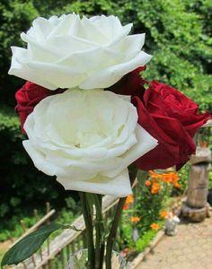 59 Melhores Imagens De Lindas Flores Beautiful Flowers Gardens E