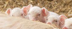 Jornada Responsabilidad de los investigadores en la experimentación animal http://www.um.es/prinum/index.php?opc=noticias&off=0&ver=797