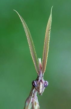 — The majestic Conehead mantis, Empusa pennata. — The majestic Conehead mantis, Empusa pennata. Cool Insects, Bugs And Insects, Weird Creatures, All Gods Creatures, Beautiful Creatures, Animals Beautiful, Cool Bugs, Fotografia Macro, Praying Mantis