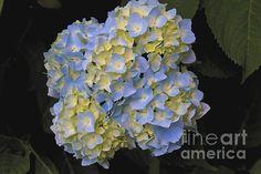 Blue Hydrangea by William Norton