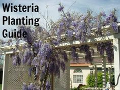 Expert tips for growing and caring for wisteria vines. Wisteria grown from seed can take up to 10 years to bloom! Wisteria Trellis, Growing Seeds, The Great Outdoors, Outdoor Spaces, Planting Flowers, Vines, Most Beautiful, Bloom, Backyard