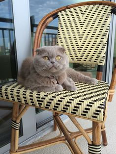 Scottish fold named Rosie
