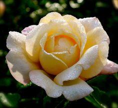 Hermann Hesse Rose...♔..