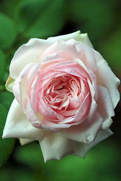 ~Hybrid Perpetual Rose: Rosa 'Elisa Boëlle' (France, 1869)