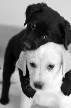 Gros Câlin entre un Chiot Blanc et un Chiot Noir