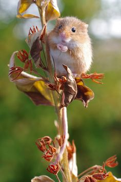 HARVEST MOUSE...a small rodent native to Europe and Asia...ranges from 2.2 to 3 inches long with a tail from 2 to 3 inches long....it weighs from 0.14 to 0.39 ounces....typically found in fields of cereal crops, such as wheat and oats