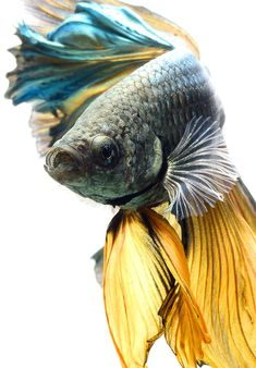 Summary: Betta Fish also known as Siamese fighting fish; Mekong basin in Southeast Asia is the home of Betta Fish and is considered to be one of the best aquarium fishes. Pretty Fish, Beautiful Fish, Beautiful Cats, Colorful Fish, Tropical Fish, Freshwater Aquarium, Aquarium Fish, Poisson Combatant, Yellow Fish