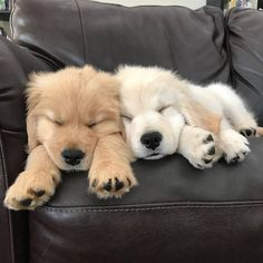 Sweet Golden Retriever Puppy - Cats and Dogs House Cute Dogs And Puppies, Baby Dogs, Doggies, Adorable Puppies, Pet Dogs, Puppies Puppies, Fluffy Puppies, Best Puppies, Love Dogs