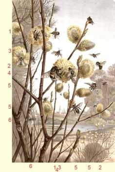 Schietwilg, knotwilg, waterwilg of Salix alba