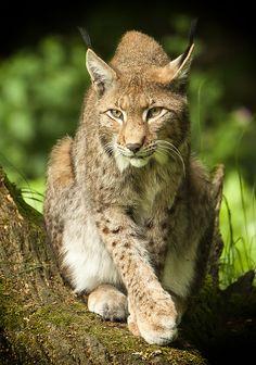 Posing Lynx by dickvanduijn