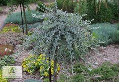 T-Salix repens var. nitida (S. r. var. argentea) - Willow, Creeping willow