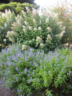 Here's a combination that looks it best in the fall – Hydrangea paniculata 'Tardiva' and Caryopteris 'Lil Miss Sunshine'. Other varieties of Hydrangea and Caryopteris work well, too. Think about Hydrangea 'Snow Queen' or Caryopteris 'Grand Blue'. (September 18, 2013)