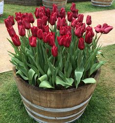 Tulip Display Container Garden I Took This Picture At The Bowral Festival Nsw