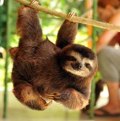 An orphaned sloth learning how to climb on the small pole ~ Photography by Josh Norem