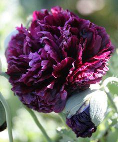 "Papaver hybridum 'Black Peony' ""Black Peony Poppy"" http://www.anniesannuals.com/"