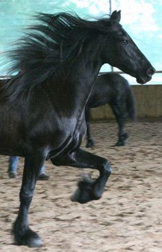 Friesian horse - from Gramayre Friesian Horses