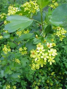 Currant/ Yellow Flowering | Pinelane Nursery