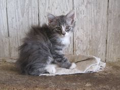 Long Haired Gray Tabby Cat I love this one. Click to see more like this!