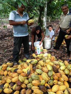 Cocoa beans of Peru This world is really awesome. The woman who make our…