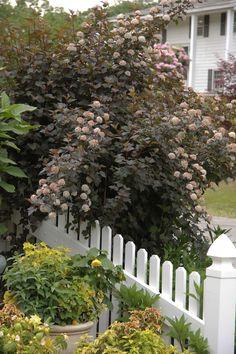 Ninebark, Physocarpus opulifolis. Grows 3-10' in height. Sun/ Part Shade/ Shade. Native to Indiana.