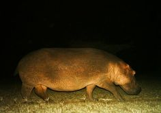 Hippopotamus! Hippopotamus, Animals, Animales, Animaux, Animais, Animal