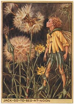 FLOWER FAIRIES/BOTANICALS: Jack-go-to-bed-at-Noon; This is an original vintage Cicely Mary Barker Flower fairies colour print. It is not a modern reproduction, c1948; approximate size 11.0 x 7.5cm, 4.25 x 3 inches