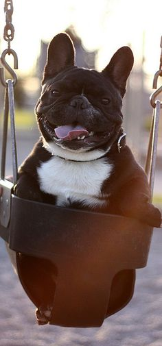 Frenchie in a swing