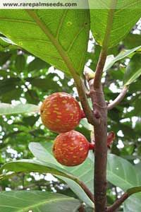 Ficus Austrocaledonica is New Caledonian fig