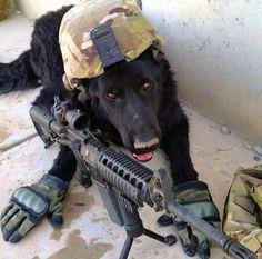 Military war dog.  MWD                                                       …