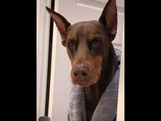 Watch and enjoy the latest funny animal and pet videos that surely make your day better. Funny Dog Video - The dancing dog Funny Dog Video - The dog ab. Pet Videos, Funny Animal Videos, Videos Funny, Animals And Pets, Funny Animals, Funny Dogs, Pets, Humorous Animals, Hilarious Animals