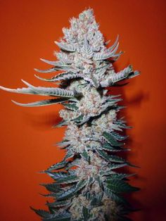 A super hybrid, Crystal Rain feminized seeds combine the genetic of the two super breeds White Widow and Northern Lights.  Crystal Rain is a fast growing and stable plant with large gooey buds and large crystalline development.