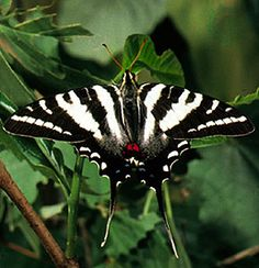 Zebra Swallowtail Butterfly Pictures