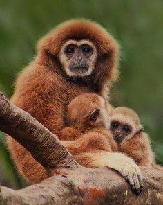 gibbons.