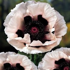 "Royal Wedding Oriental Poppy - Papaver - Select 4 or 8 Plants- Growing in 2.5"" Pots by HirtsGardens on Etsy https://www.etsy.com/listing/223035743/royal-wedding-oriental-poppy-papaver"