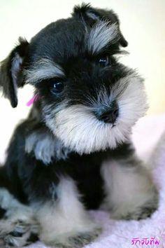 What an adorable little mini Schnauzer puppy, just so cute!!❤️ #miniatureschnauzer