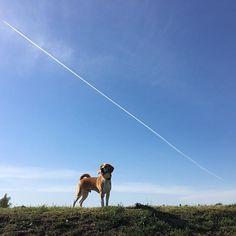 今日の散歩🐶🌞飛行機雲とマクリー🐶✈️#ビーグル#レモンビーグル#レモンカラー#ビーグルレモンカラー#犬#スヌーピー#🐶#beagle#親バカ#垂れ耳#ビーグル11ヶ月#愛犬#散歩#滝の川公園#滝の川運動公園#飛行機雲#青空#雲#晴天#いぬ部#うちのワンコ#beagleloveit#beaglelover#dog#beagleworld#beaglelife#beaglestagram#george#sevenseasdog