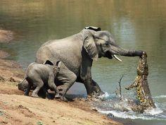 Crocodile attaquant un éléphant!