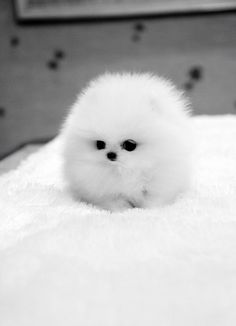 Animals: Lil Ball of Fur Dog | #animals #dogs