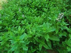The healing power of peppermint - MOTHER EARTH NEWS