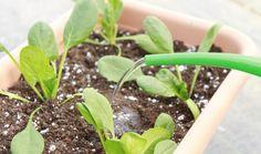 Καλλιεργήστε σπανάκι στον κήπο σας